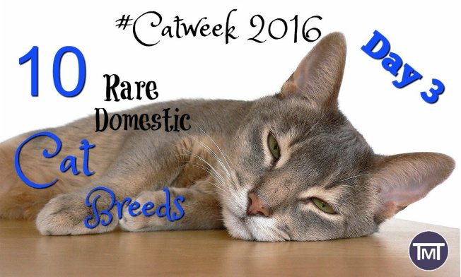 A roundup of the rarest domestic cat breeds with characteristics, defining features and fun facts for all you need to know about these rare domestic cats.