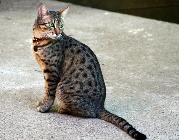 Egyptian Mau cat - 10 Rare Domestic Cat Breeds