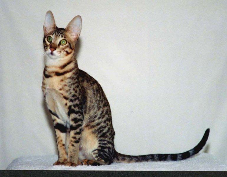 Serengeti cat - 10 Rare Domestic Cat Breeds