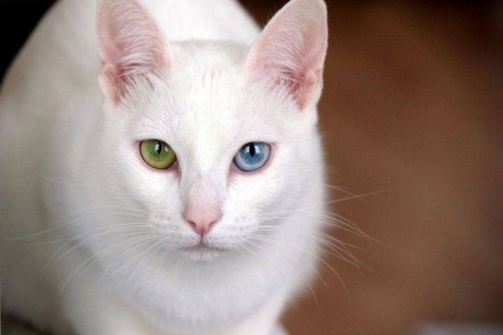 Khao Manee - 10 rare domestic cat breeds