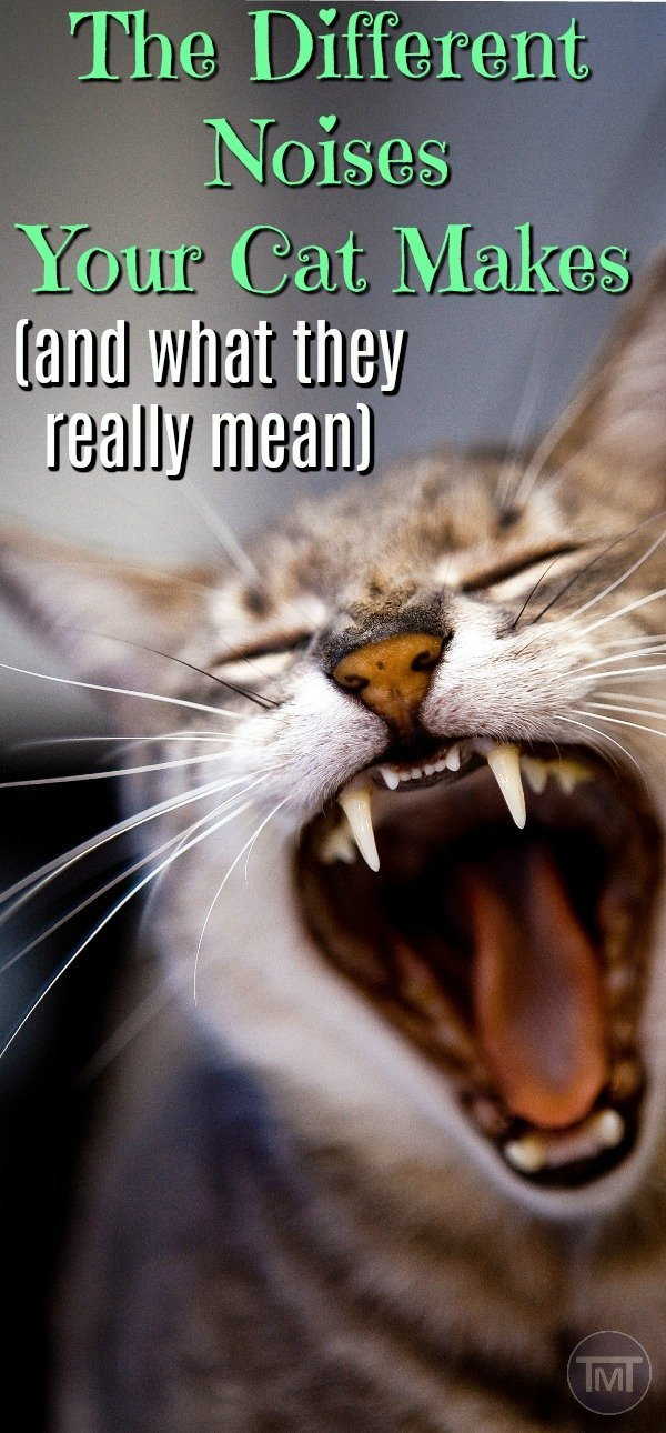 Why is your cat making these noises? Cat noises differ according to breeds and for different purposes, find out here as well as the chattiest cat breeds to get.