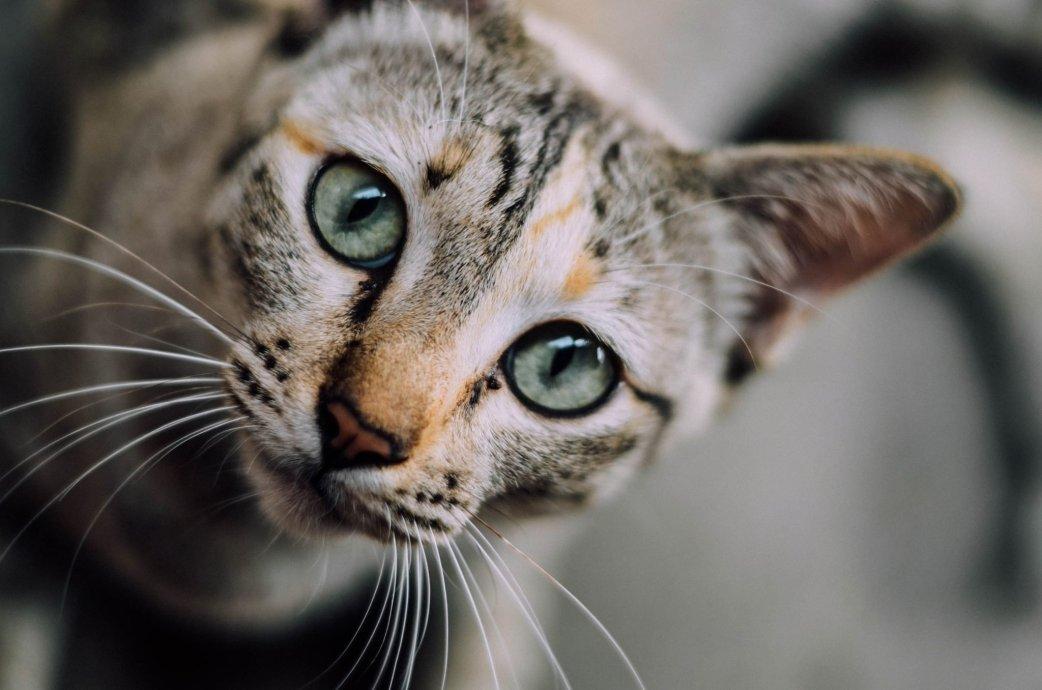 cat looking at camera - cat adoption advocacy