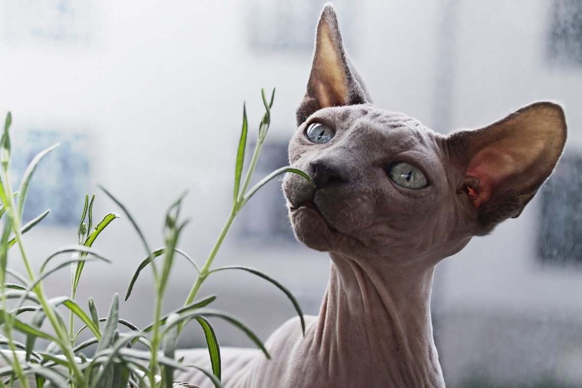 hairless cat eating plant