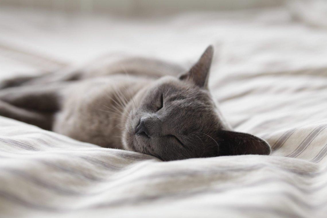 grey short haired kitten asleep on bed linen close up