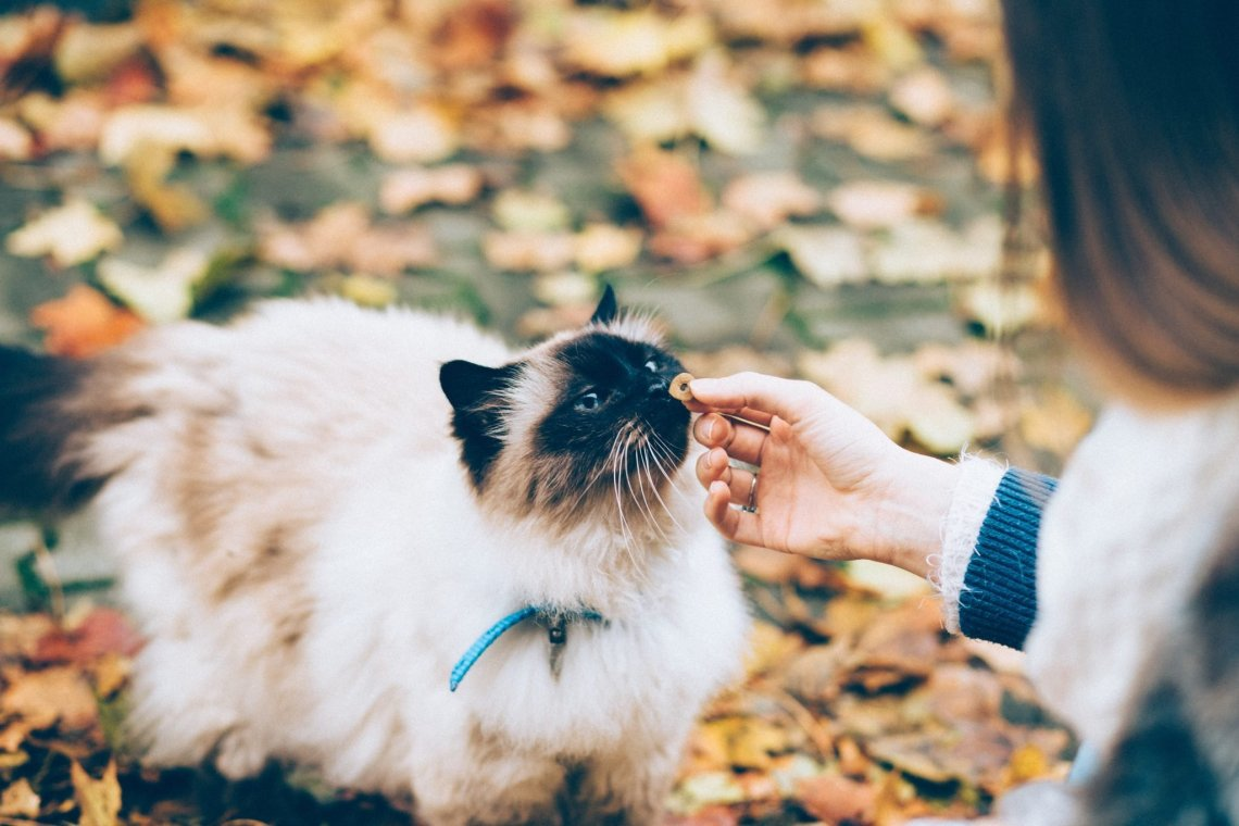 long haired siamese being coaxed by a hand on golden fallen autumn leaves
