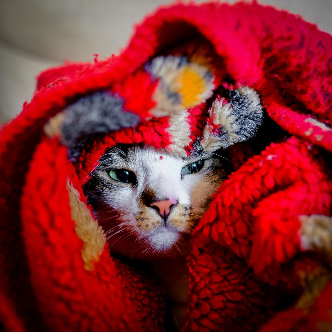 cat face snuggled in a red, patterned blanket