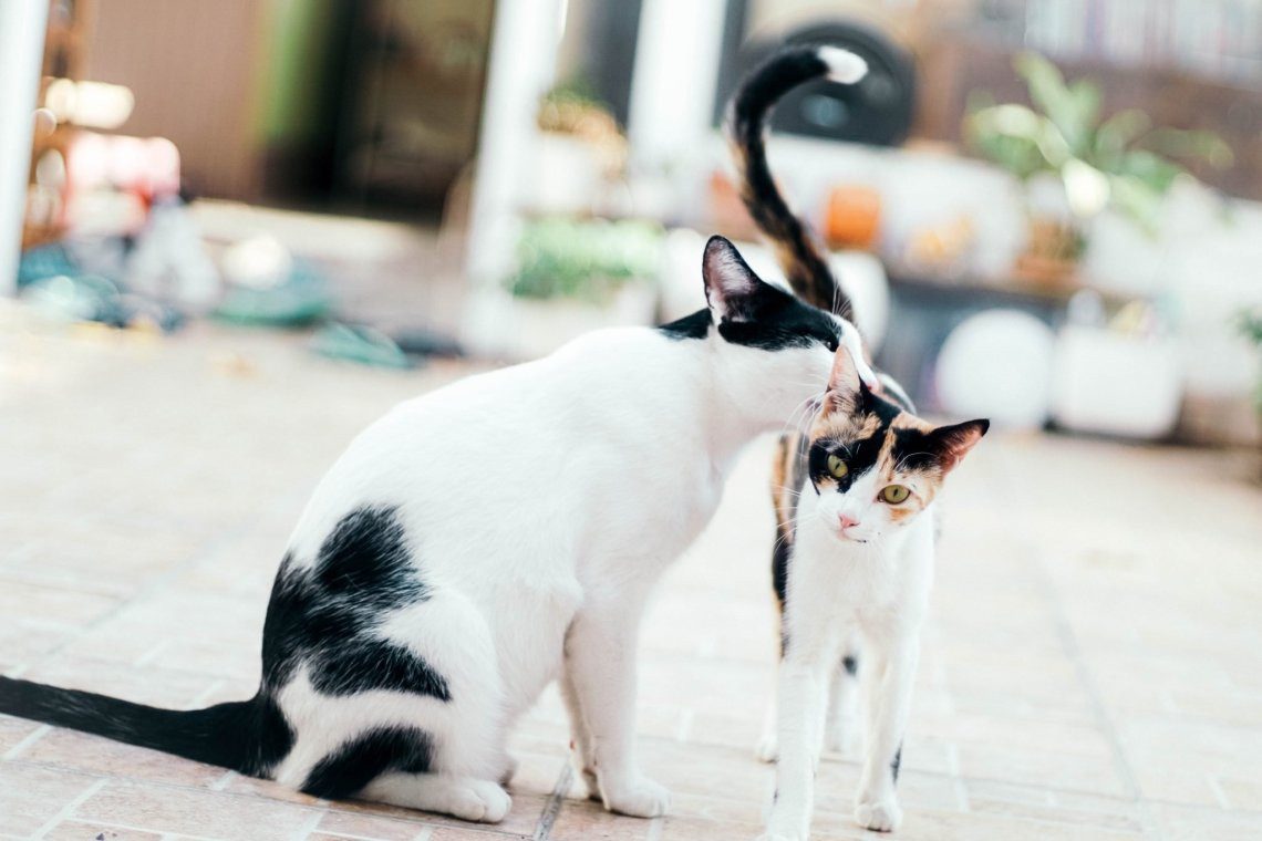 black and white cat licking it's friend