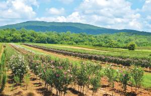 McMinnville's location is ideal for nurseries due to its moderate climate. In fact, the economic impact of the nurseries amounts to $400 million annually for Tennessee, with $90 million of that total generated in Warren County alone. (Photo provided)