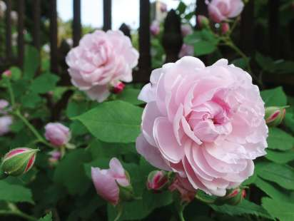 Hosting the largest public collection of antique roses in the state of Virginia, Lynchburg's Old City Cemetery Museum and Arboretum draws people to town to view them. (Photo provided by Southern Memorial Association, Ted Delaney)