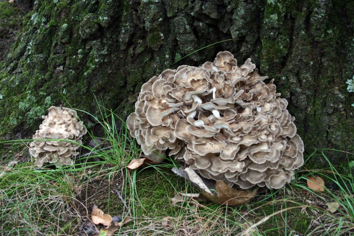 maitake big and small