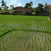 View of the rice paddies from Living Food Lab