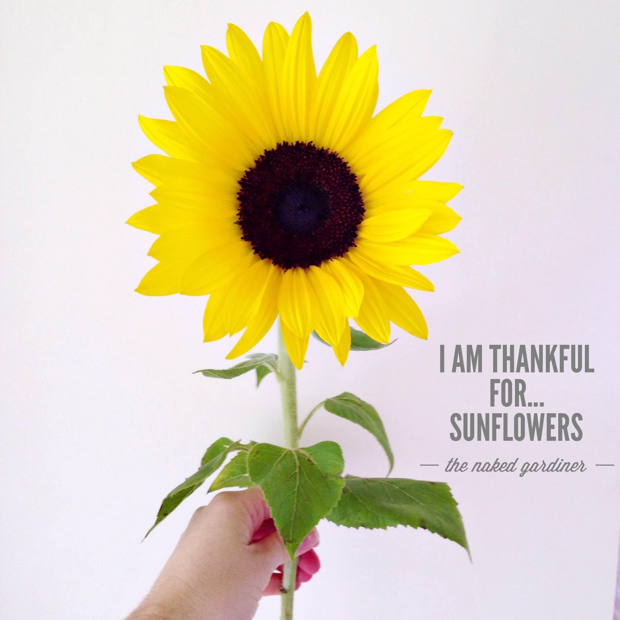 thankful-thursdays-sunflowers-thenakedgardiner