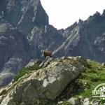 self guided hiking, Carpatian mountains, Poland, mountain goats