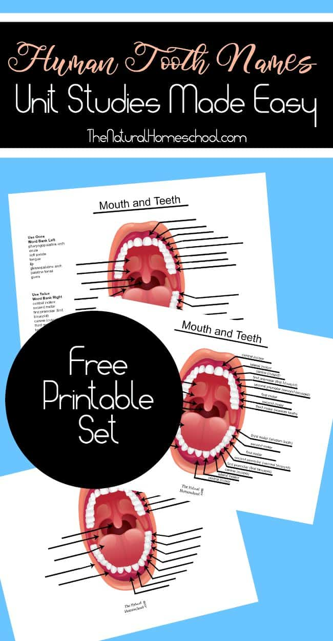 Free human tooth names printables free homeschool deals in this free unit study children will get a tooth diagram with names and locations for all the teeth in their mouth and the ones that are to come when they ccuart Image collections
