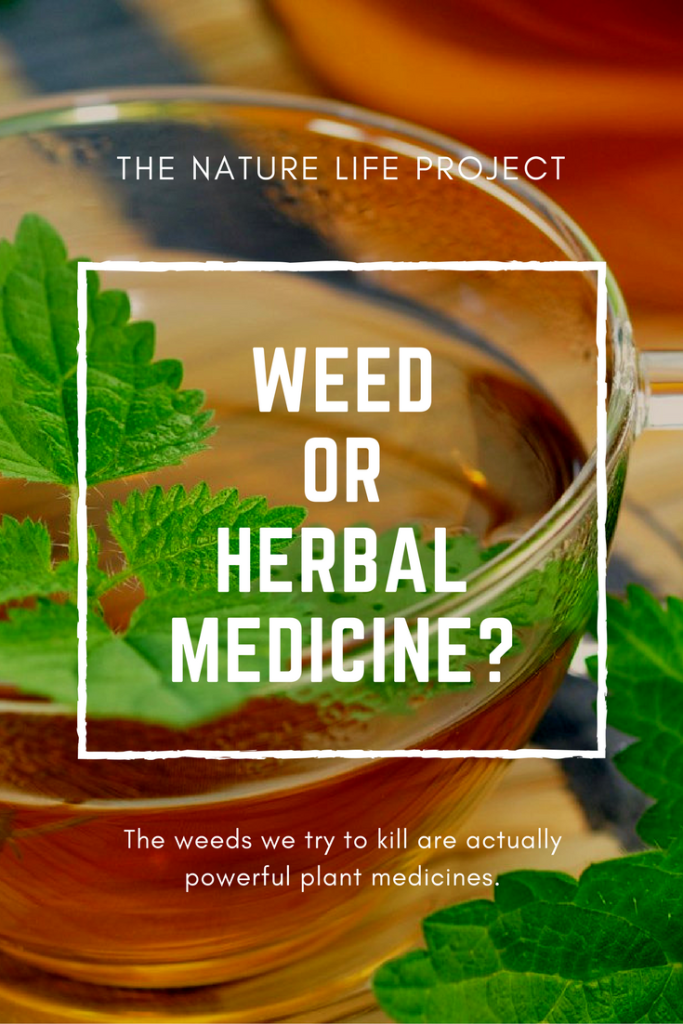 Learn which weeds are actually powerful plant medicine.