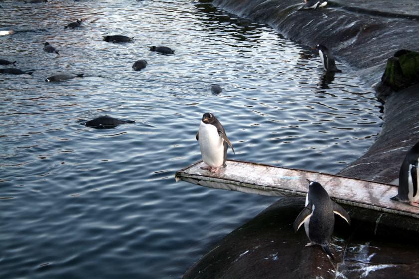 15) Penguins at Edinburgh Zoo. Credit Glen Bowman