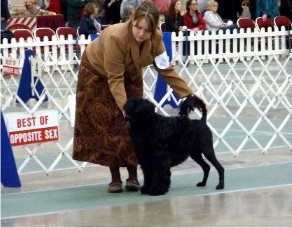 Black Portuguese Water Dog Conformation Dog Show The Naughty