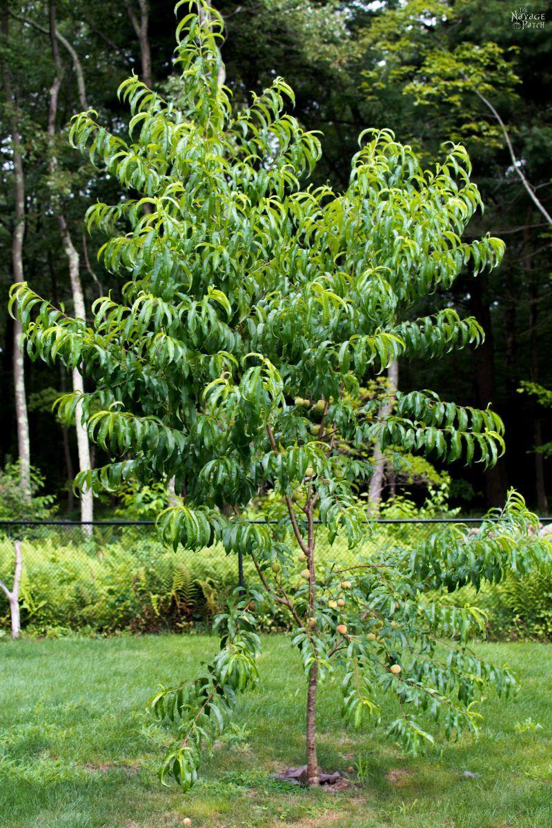 Midsummer Vegetable Garden 2017   Gypsy Moth   Pepper Fungus   Black Rot   Gardening   Fruit Trees   Apple Trees   Peach Trees   Hot Pepper Plants   Carolina Reaper   Japanese Beetle   TheNavagePatch.com