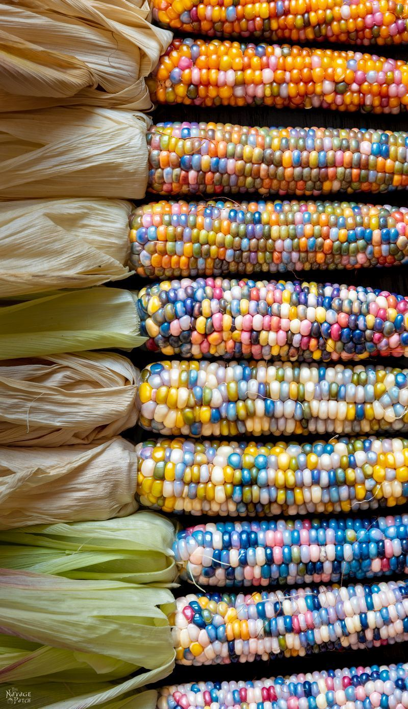 Glass Gem Corn - Rainbow on a cob. If unicorns had gardens, they'd grow Glass Gem corn. | #TheNavagePatch #Homesteading #DIY #HowTo #Indiancorn #Falldecor | TheNavagePatch.com
