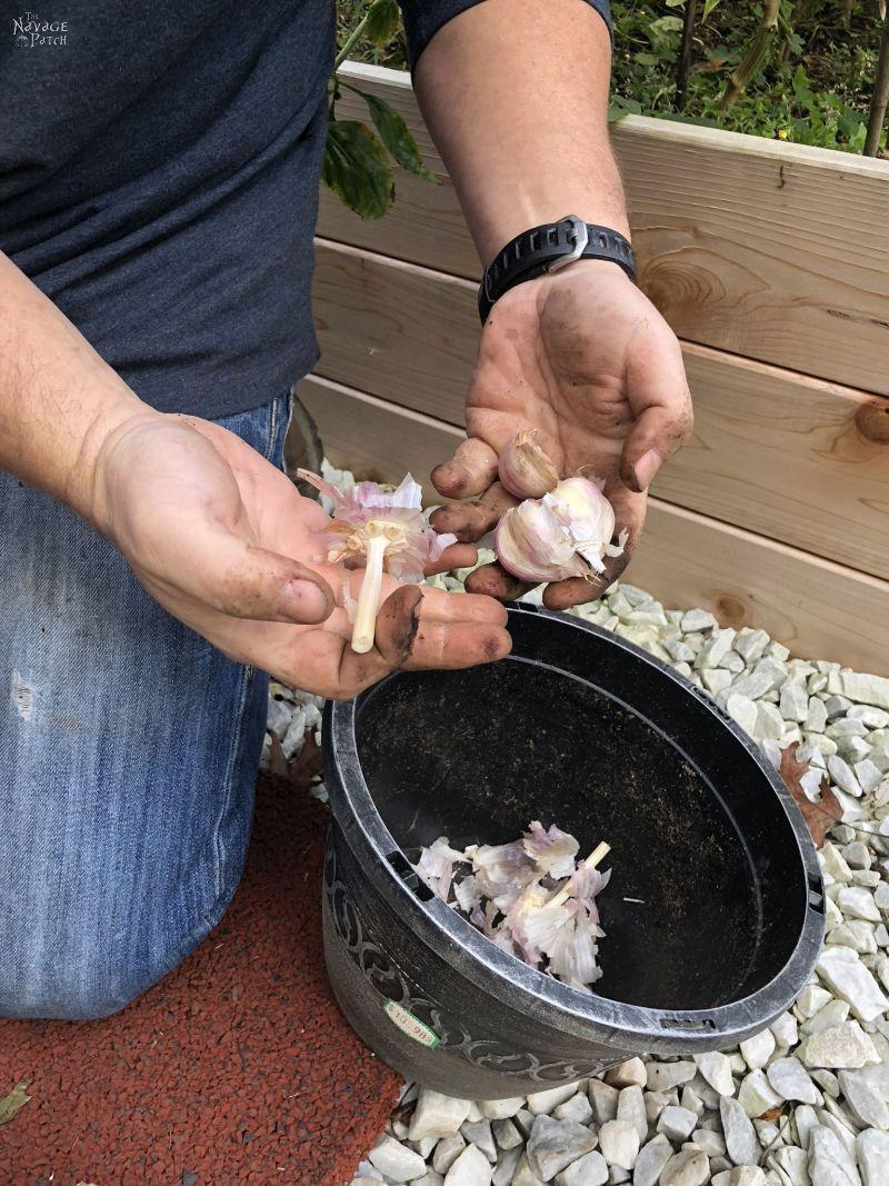 breaking apart garlic bulbs before planting