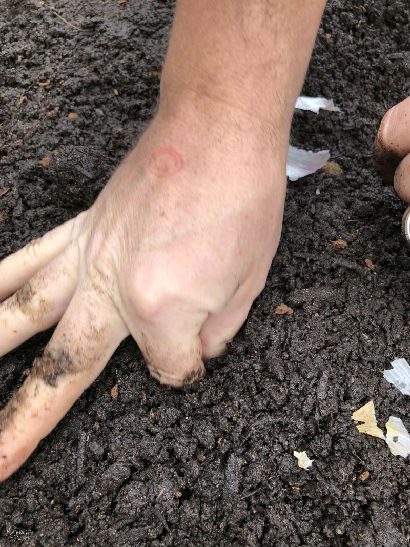 planting a clove of garlic