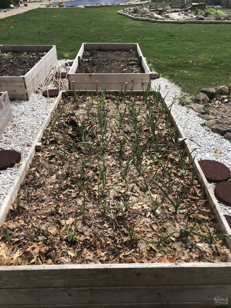 young fall-planted garlic in early spring