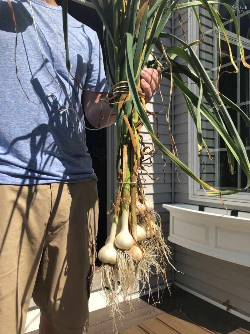 holding a bunch of garlic plants