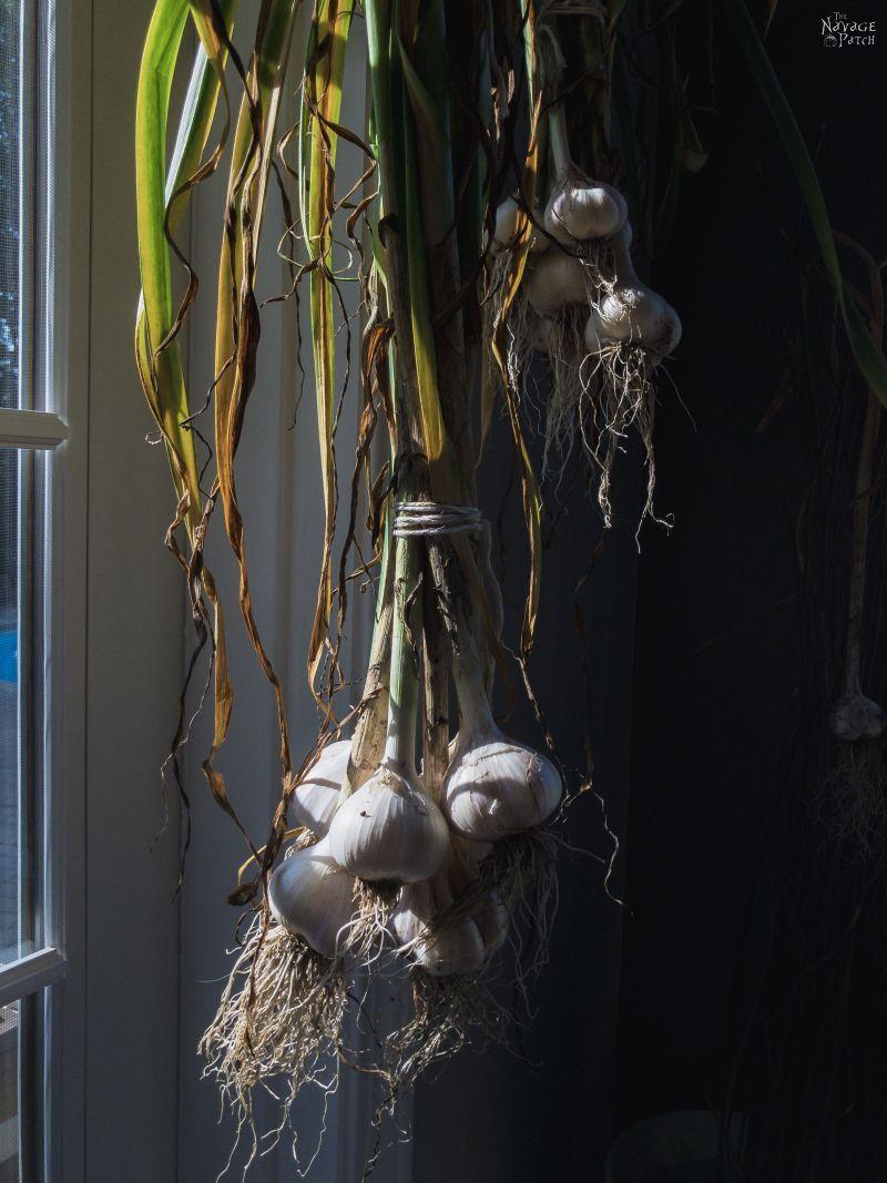 hanging curing garlic