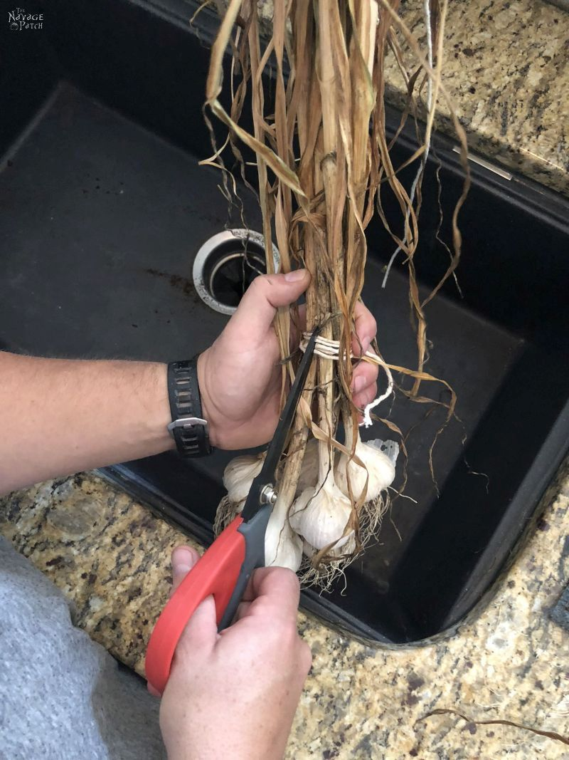 preparing garlic for storage