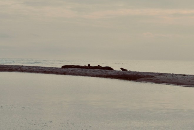 Seals laying on the beach at Målkläppen