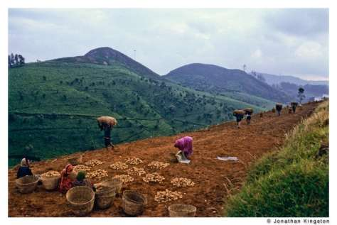 Potato harvest in Tamil Nadu, southern India.