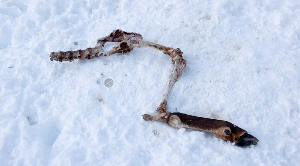 Skeletal remains in the snow of a deer killed by a wolf in Idaho.