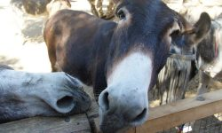 Rescued donkeys at Agia Marina Donkey Sanctuary, Crete