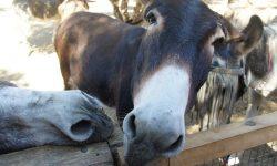 Rescued donkeys at Agia Marina Donkey Sanctuary, Crete