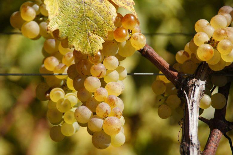 Grapes - organic vegan wine brands
