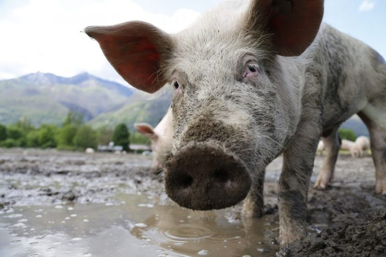 why I became vegan - vegan for the animals - pig