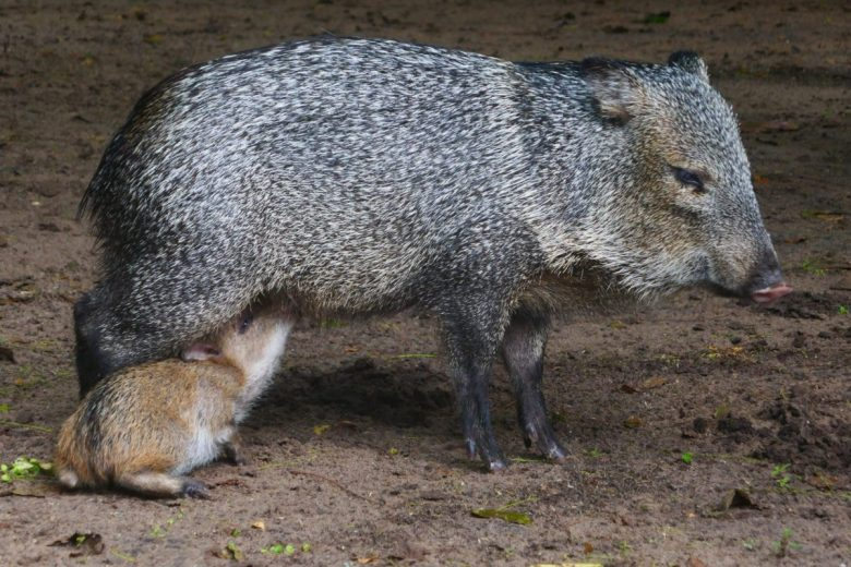 peccaries - wild pigs - Pantanal animals