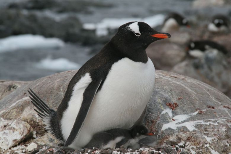 Sighting of a penguin with her baby chick on our Antarctica holidays