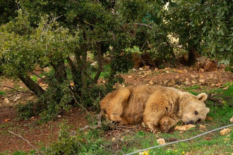 A rescued Syrian brown bear at Al Mawa wildlife refuge in Jordan
