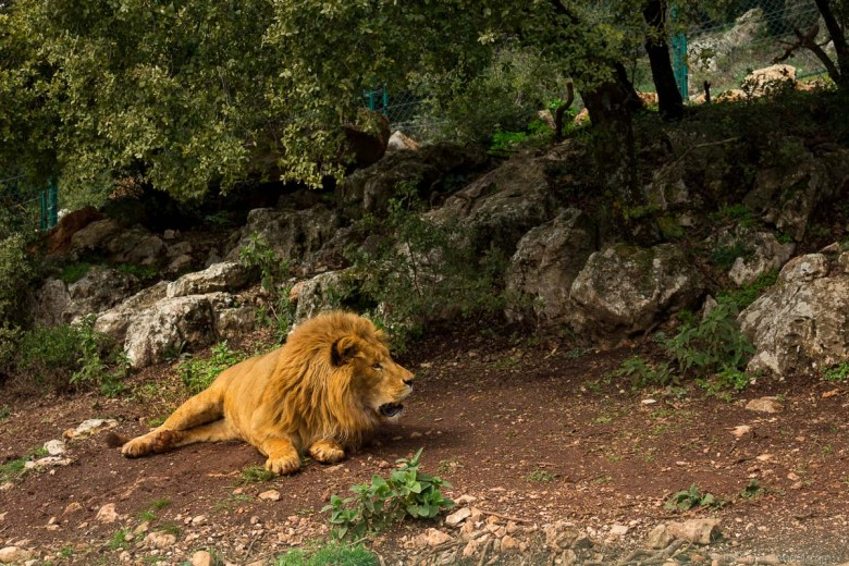 Rescued lion at Al Mawa sanctuary - animals of Jordan