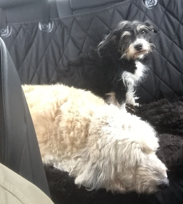 Our little angels in the back seat.