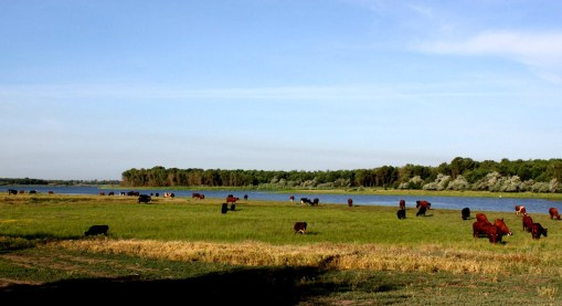 The Cows of Joyful