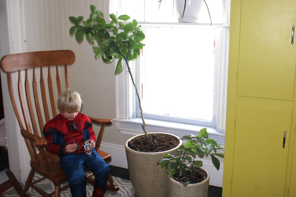 How to grow huge lemons indoors - The Old Walsh Farm