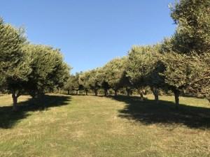 Fleurieu olive grove