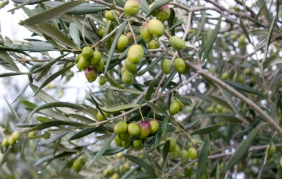 Australian Olive Association AGM – grand mistake or grand masterplan?