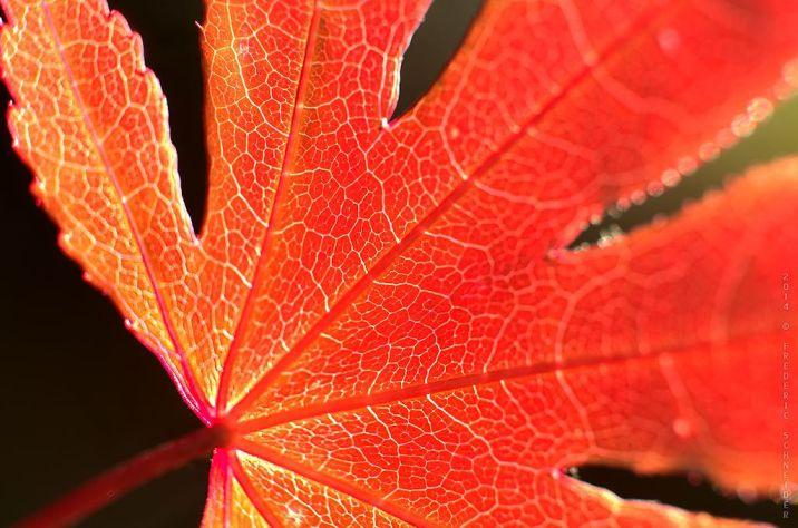 Red Leaf © fs999 - https://www.flickr.com/photos/fs999/15774641969