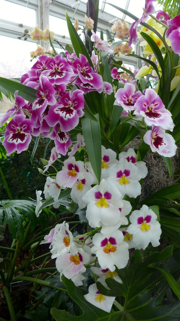 several orchid varieties at the nybg annual orchid show in new york city