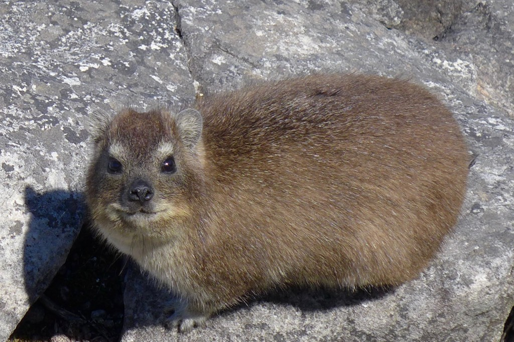 Hire a local tour guide to learn about native animals like this dassie in South Africa