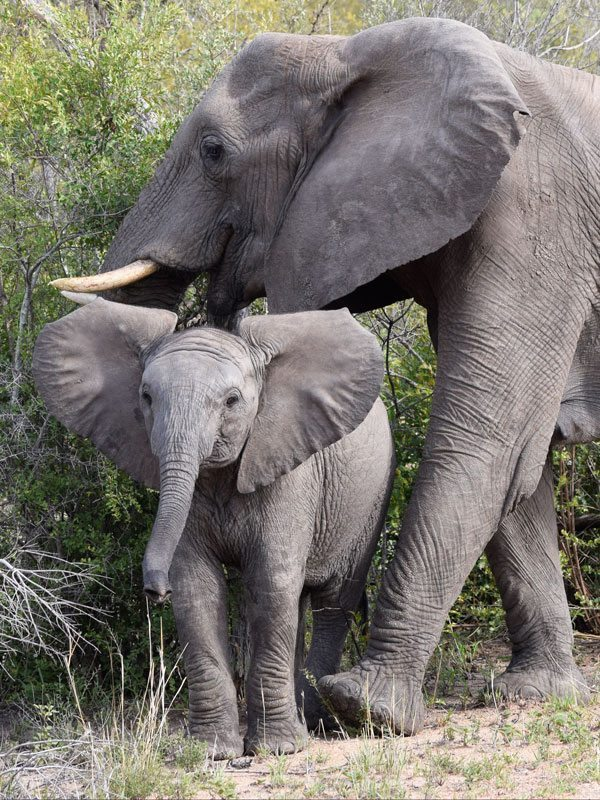 Mother and baby elephant in Kruger National Park, one of the best places to visit