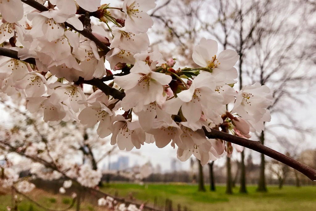 Cherry blossom branch in Central Park - The Open Suitcase